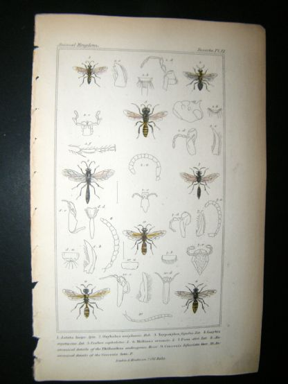 Cuvier C1835 Antique Hand Col Print. Astata, Oybelus, Meltinus, 81 Insects | Albion Prints